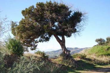 o-zimbro-fenicio,-uma-das-plantas-mais-raras-do-mundo,-esta-em-perigo-de-extincao.-voce-pode-salva-la